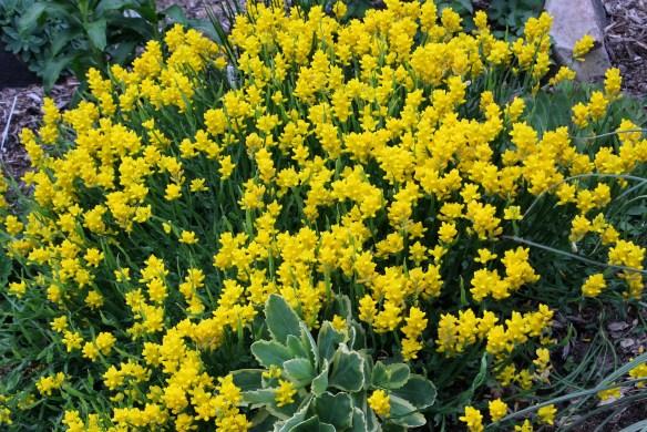 Genista sagitalis in flower2