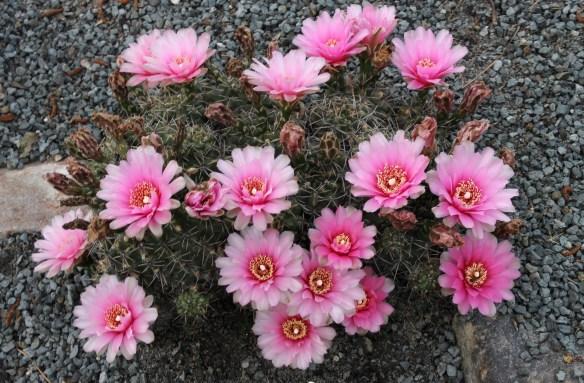Gymnocalycium Paradise Pink8