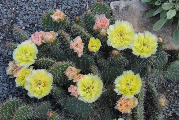 Opuntia sp. Little Monk in flower (3)