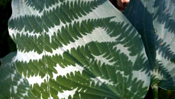 Hosta with fern leaf shadow (J Burgan)