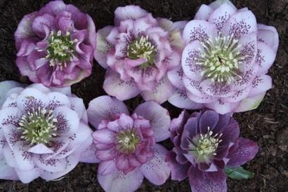 Helleborus x hybridus PDN Double Pink w/Spots