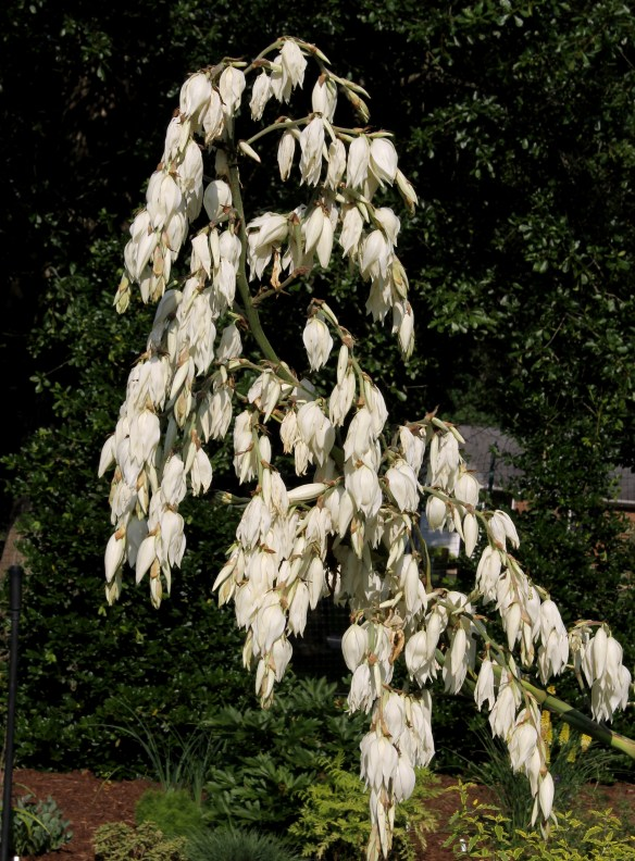 Yucca PDN003 (cernua x recurvifolia) flower spike