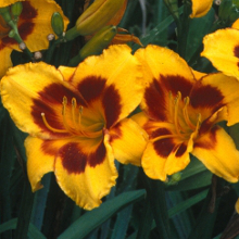 Hemerocallis 'Black Eyed Susan'