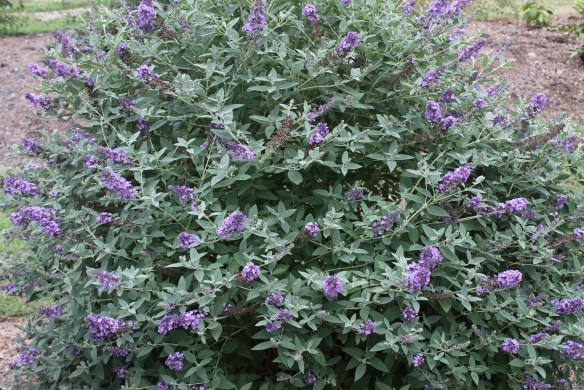 Buddleia Blue Heaven clump in flower