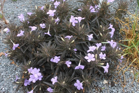 Ruellia Black Beauty clump in flower2