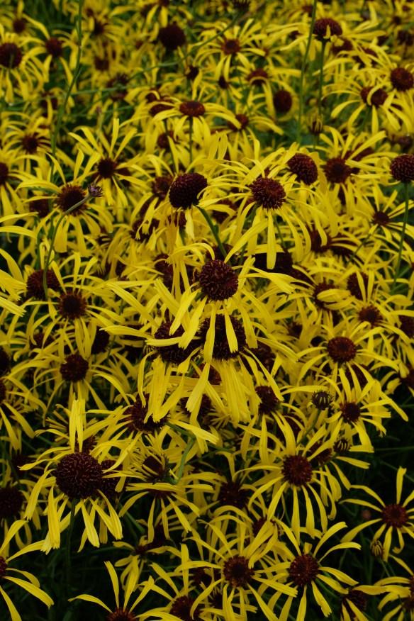 Balduinia atropurpurea in flower