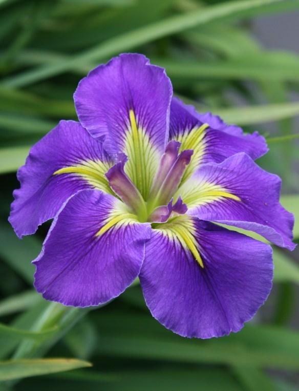Iris x louisiana Geisha Eyes4 (63412)