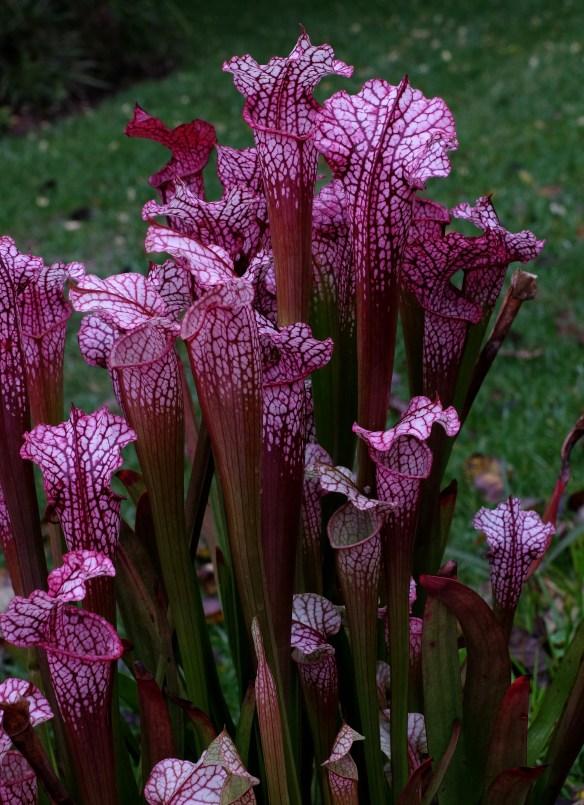 Sarracenia Daina's Delight6
