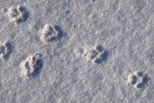 Cat tracks in ice