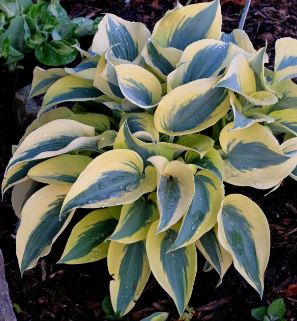 Hosta Autumn Frost3