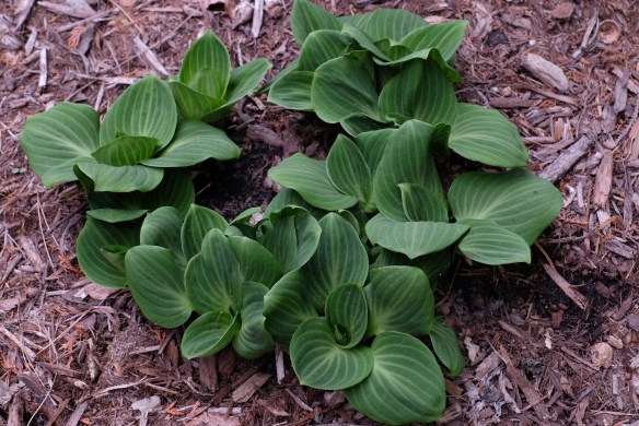 Hosta You're So Vein8