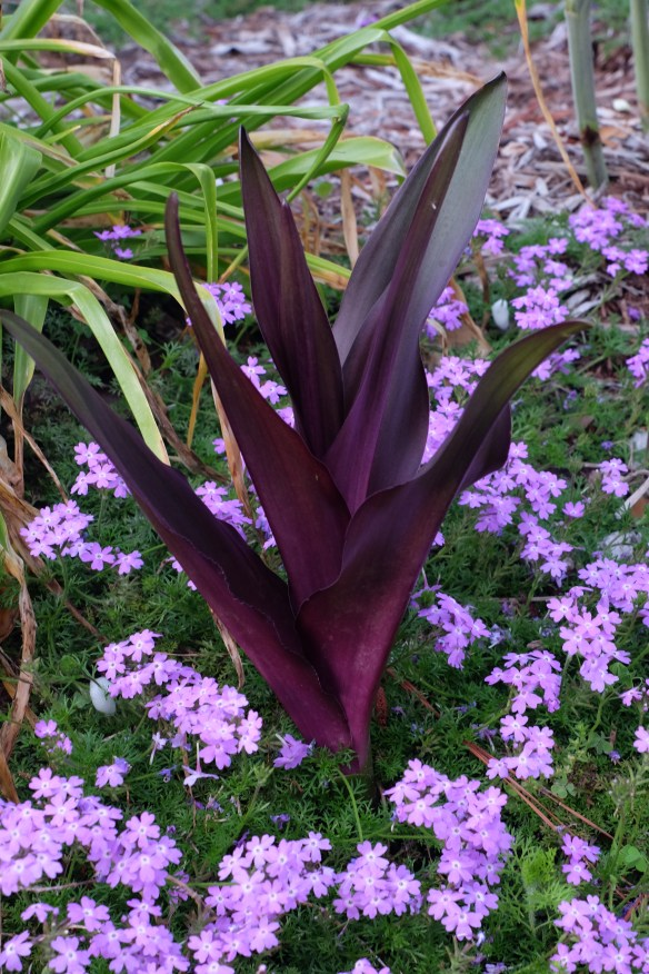 Eucomis Sparkling Burgundy combo with Verbena Lavender Frappe