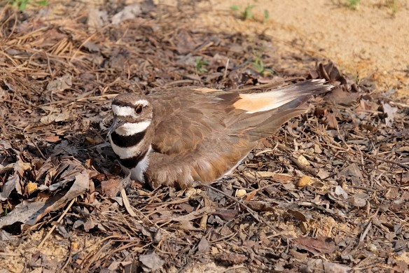Kildeer nesting at JLBG