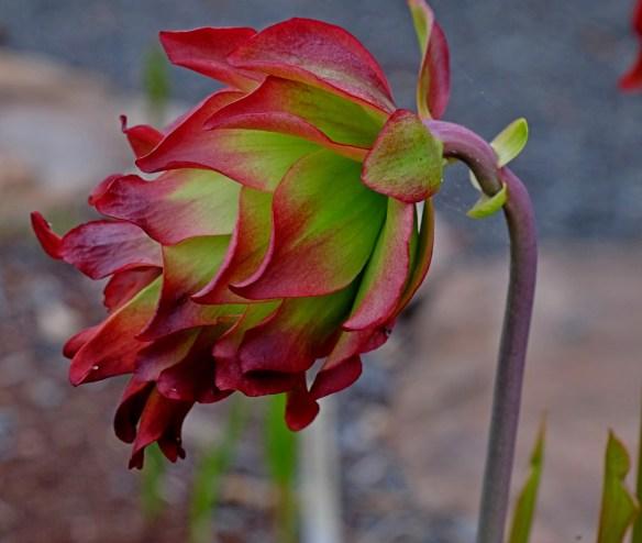 Sarracenia leucophylla Tarnock flower closeup