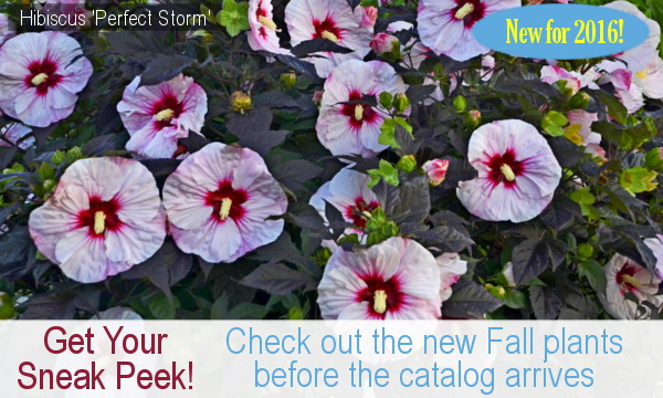 Photo of Hibiscus 'Perfect Storm' announcing 2016 Fall Catalog
