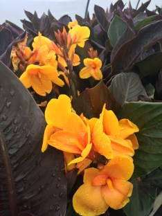 Picture of Canna 'Chocolate Sunrise'