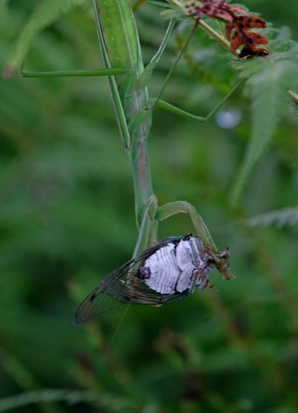 Mantis-cicada
