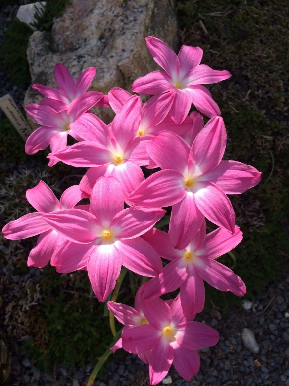 picture of Heart Throb rain lily in the garden