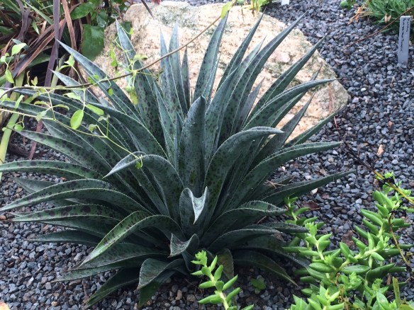 picture of x Mangave Pineapple Express-garden