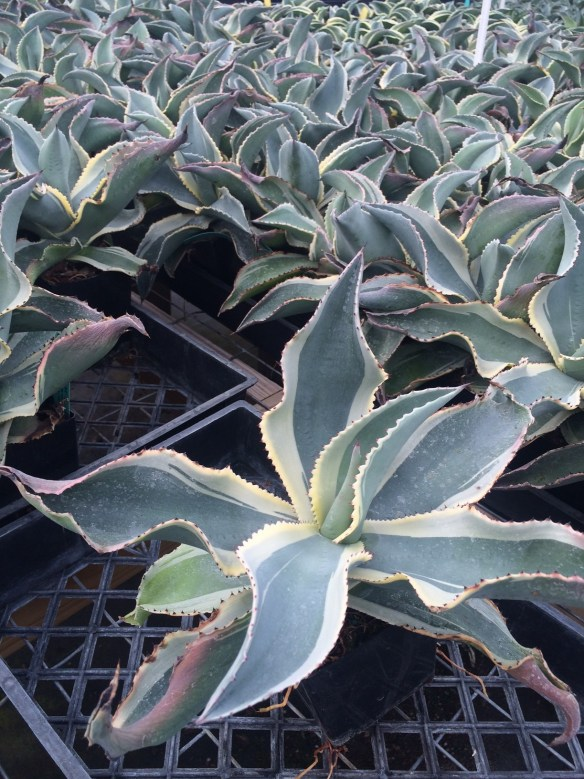 picture of Agave ivory curls
