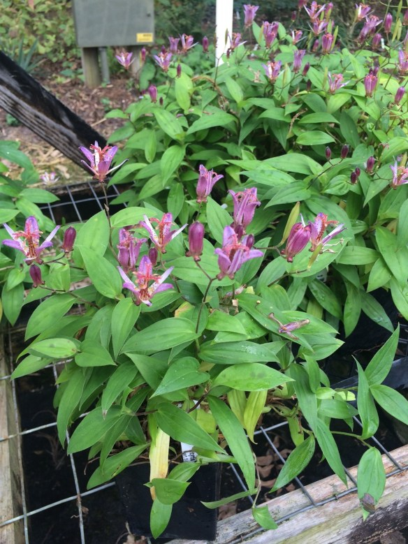 picture of Tricyrtis Seiryu flowering in the sales house