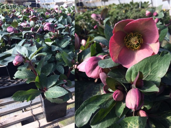 picture of Helleborus Pippa's Purple
