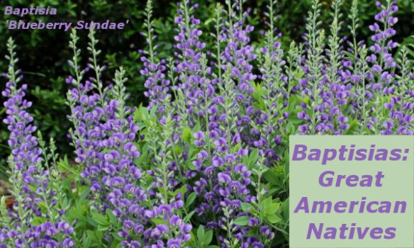 image of Baptisia 'Blueberry Sundae'