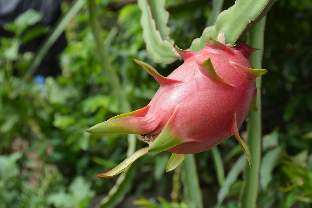 AI Plant Doctor app launched to help diagnose pests and diseases on dragon fruit crops in Vietnam