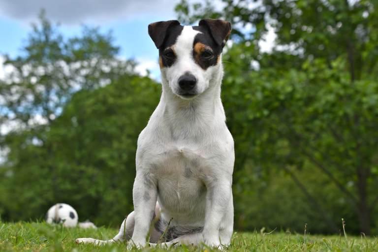 raças de cachorro para apartamento jack russel