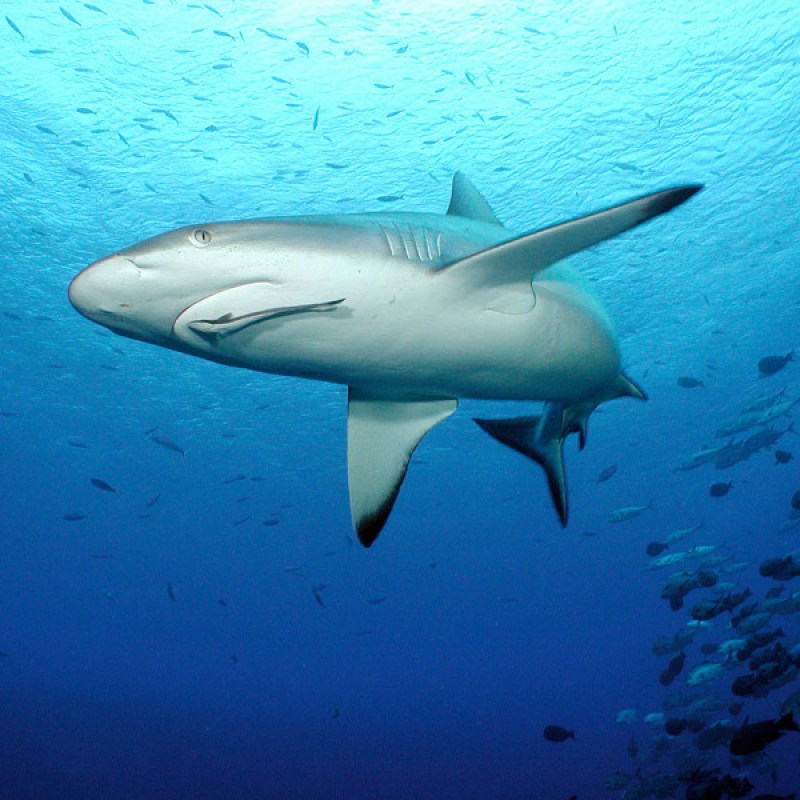 Grey reef shark (Carcharhinus amblyrhynchos). Shark and remora. Curious and territorial, Grey reef sharks are among the most commonly encountered sharks on coral reefs. Fiji.
