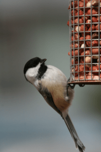 Black-capped Chickadee -FCAS file photo