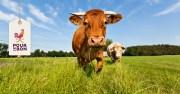 Tout savoir sur les races bovines !