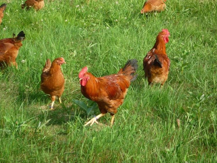 Comment choisir un poulet fermier ?