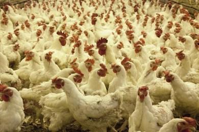 comment choisir son poulet fermier pourdebon