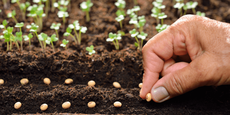 tout savoir sur les semences anciennes