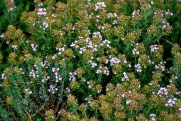 photo herbes de provence