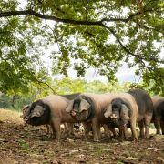 Qu'est-ce-que le Porc Kintoa AOP ?