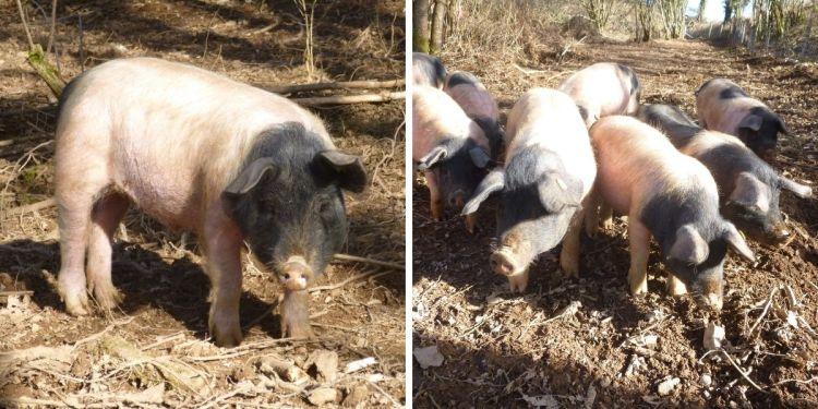 Les cochons Cul Noir Limousin sont élevés en plein air, durant 18 mois. Cette croissance lente favorise la production d'une viande de qualité et d'un gras exceptionnel.
