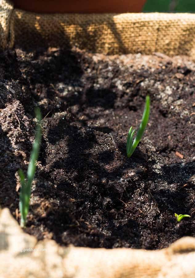 cipolla egiziana coltivazione
