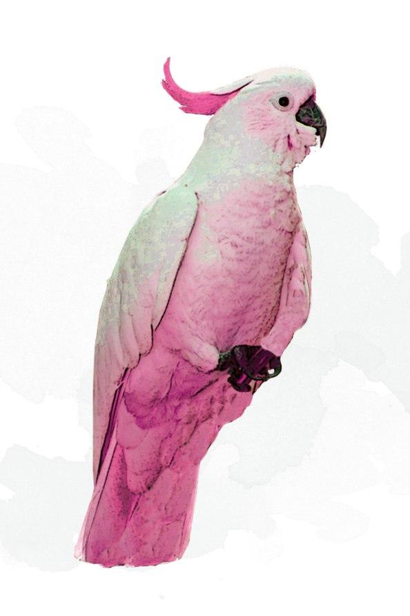 PinkCockatooCanvas