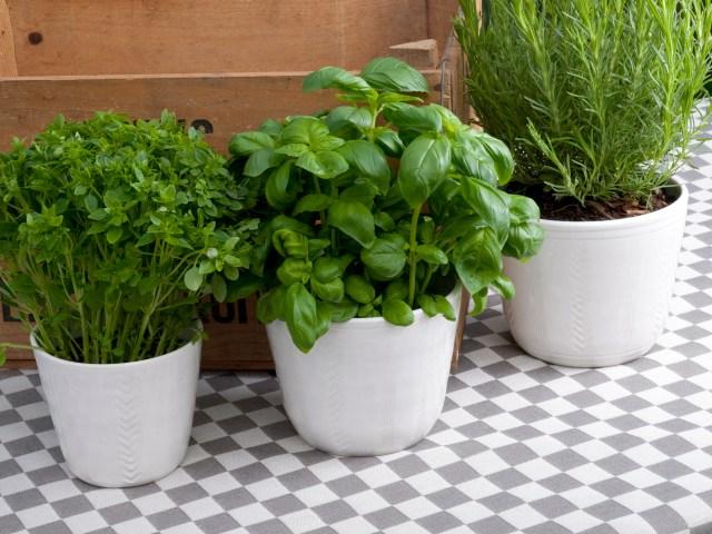 Herb or plant pots. Wheel thrown, stoneware, simple surface decoration, white glaze.