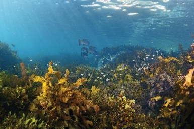 Underwater scene with kelp in foreground and fish in background