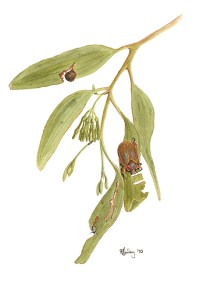 Illustration of Christmas Beetle feeding on mistletoe foliage