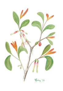 Illustration of Coast Mistletoe