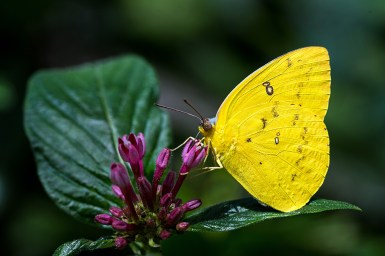 A Grass Yellow butterfly feeding on purple flower