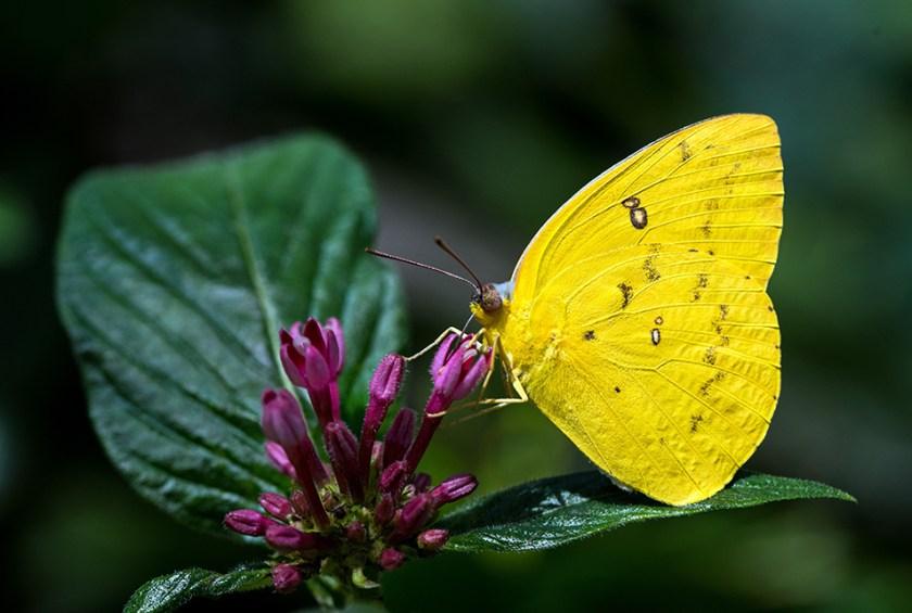 A Grass Yellow butterfly feeding on purple flower