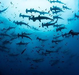 A large school of hammerhead sharks