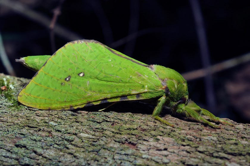 A bright green moth resting on the bark of a tree at night.