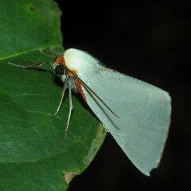 A striking fluffy white moth with orange head and markings resting on a leaf at night.