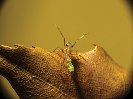 A pale green Northern Green Tree Ant Mimic on a leaf